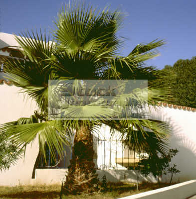 palm tree walls abstracts misc. mykonos greek island dodcanese islands greece europe european