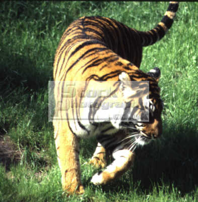 tiger african animals animalia natural history nature misc. stalking feline