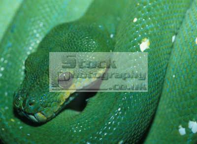 emerald boa snakes serpentes ophidia animals animalia natural history nature misc. venom venomous bite milk strike attack danger california californian usa united states america american