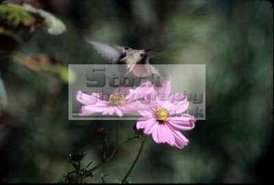 calliope hummingbird stellula pocatello birds aves animals animalia natural history nature misc. idaho usa united states america american