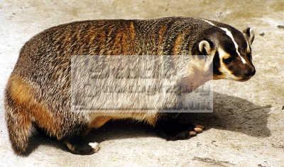 badger taxidea taxus pocatello zoo idaho animals animalia natural history nature misc. usa united states america american