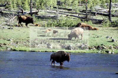 bison yellowstone national park animals animalia natural history nature misc. montana usa united states america american