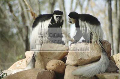 colobus monkeys hogle zoo salt lake city utah african animals animalia natural history nature misc. usa united states america american