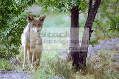 coyote canis latrans pocatello zoo idaho dogs canidae canine animals animalia natural history nature misc. howl predator usa united states america american