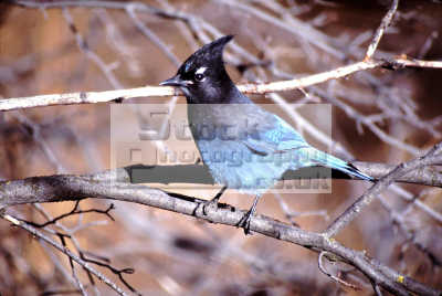 steller jay cyanocitta stelleri pocatello idaho birds aves animals animalia natural history nature misc. usa united states america american
