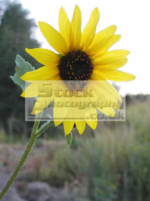 sunflower wild insects pocatello idaho flowers plants plantae natural history nature misc. usa united states america american