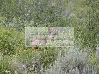 mule deer odocoileus hemionus pocatello idaho animals animalia natural history nature misc. usa united states america american
