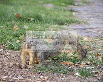 fox squirrel sciurus niger idaho squirrels rodents sciuridae animals animalia natural history nature misc. usa united states america american