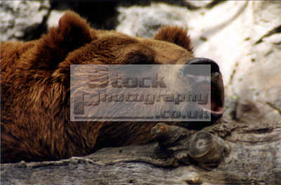 grizzly bear ursus arctos horribilis pocatello zoo animals animalia natural history nature misc. snore snoring asleep sleep idaho usa united states america american