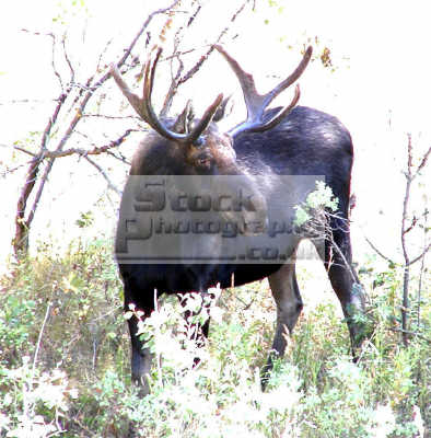 moose bull alces pocatello animals animalia natural history nature misc. proud idaho usa united states america american