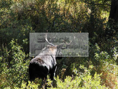 moose bull alces animals animalia natural history nature misc. bulwinkle idaho usa united states america american