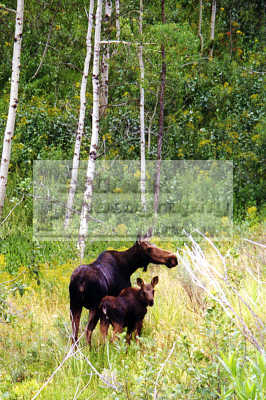 moose cow calf alces pocatello idaho animals animalia natural history nature misc. grazing usa united states america american