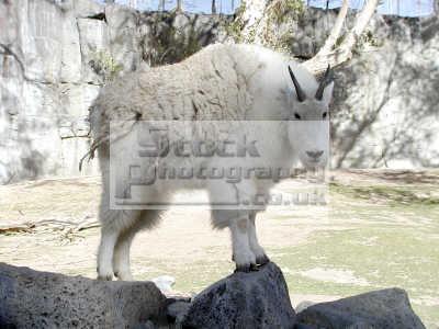 mountain goat oreamnos americanus pocatello zoo animals animalia natural history nature misc. idaho usa united states america american