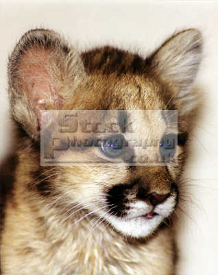mountain lion baby named aurora felis concolor pocatello cats felidae animals animalia natural history nature misc. feline cat idaho usa united states america american