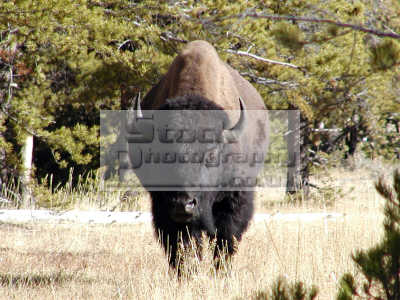 bison approaching yellowstone park animals animalia natural history nature misc. beast hoof horns montana usa united states america american