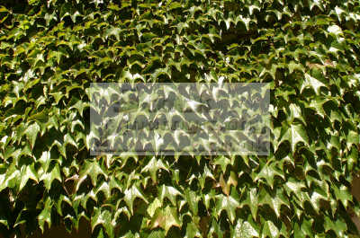 ivy textures patterns abstracts misc. green leaves devon devonian england english angleterre inghilterra inglaterra united kingdom british